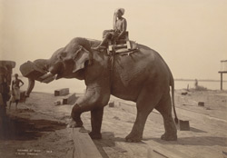 Elephant at work [Rangoon] 15619